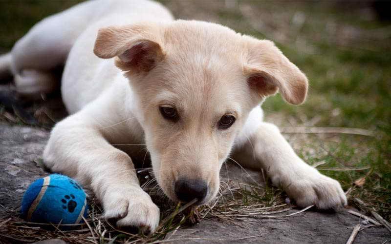 Labrador Mix Puppy