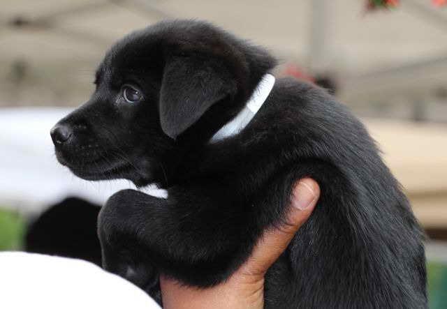 Labrador Mix Rescue