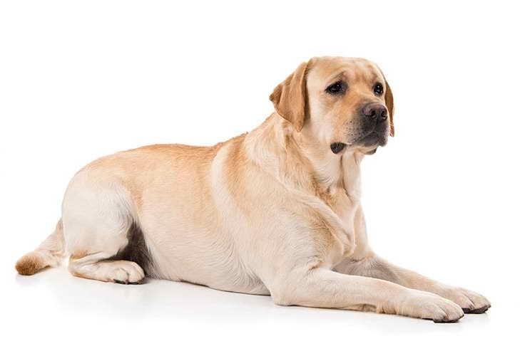 Labrador Photos