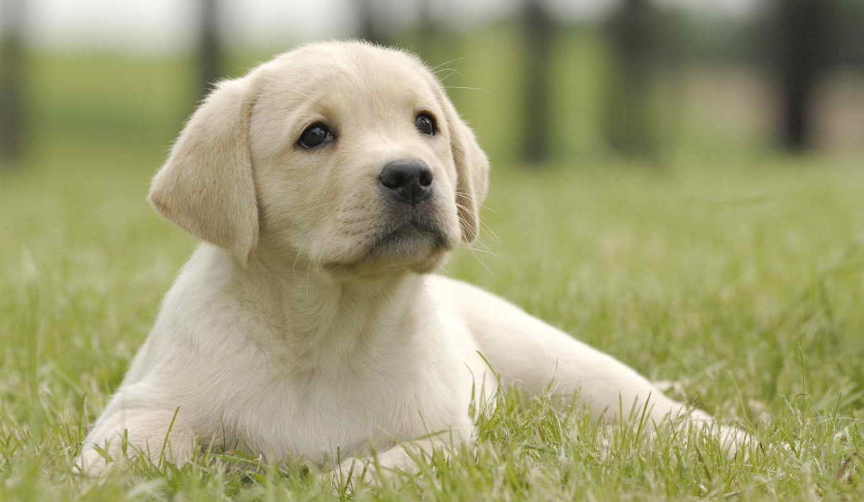 Labrador Potty Training