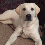 Labrador Puppies Az