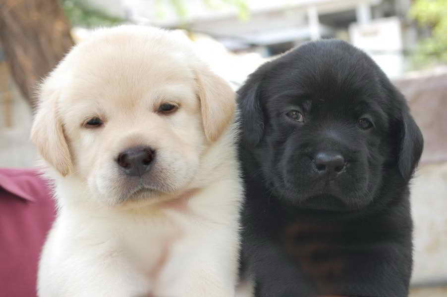 Labrador Puppies Cost