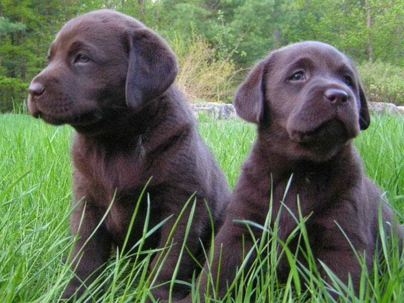 Labrador Puppies Denver