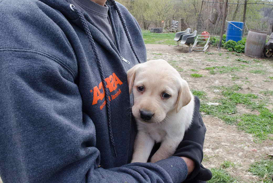 Labrador Puppies For Adoption