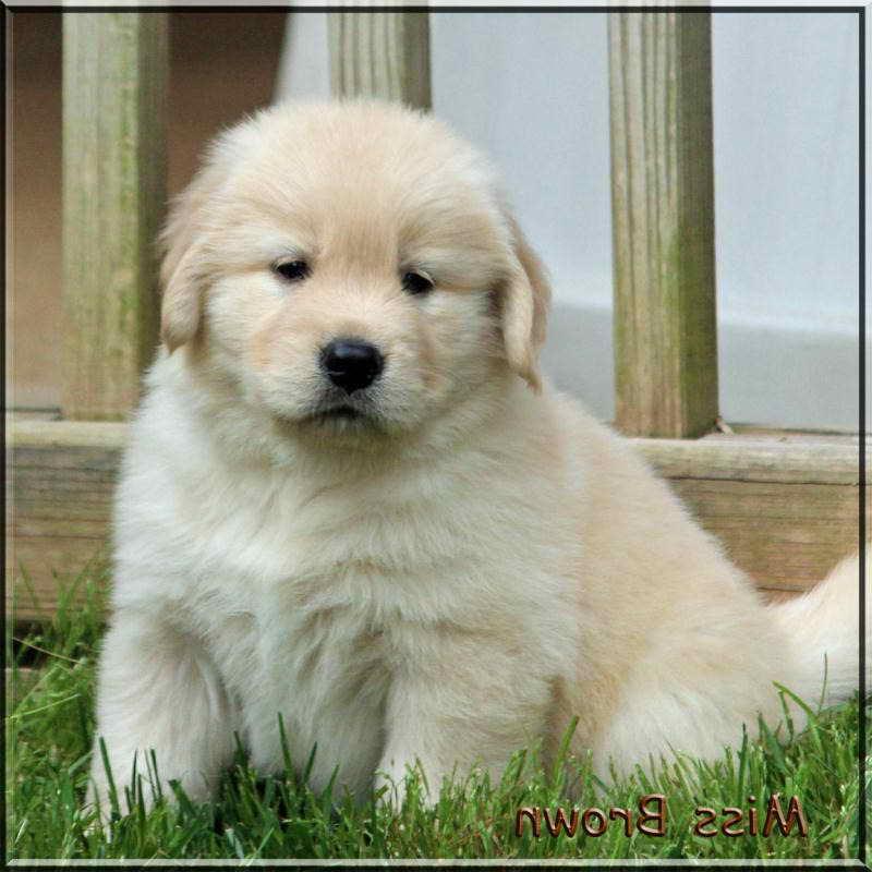 Light Golden Retriever Puppies For Sale