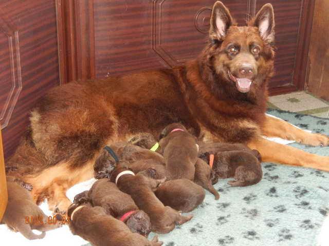 Liver German Shepherd Puppies