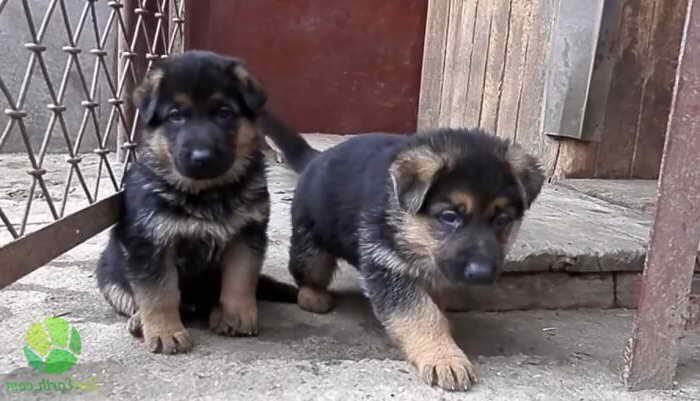 Local German Shepherd Puppies