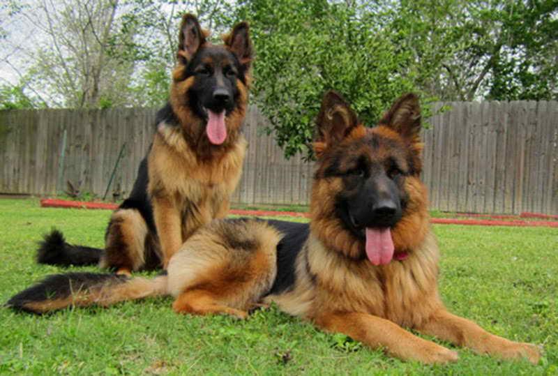 Long Coat German Shepherd Puppy For Sale