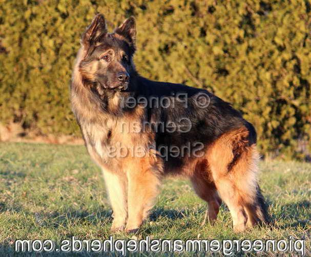 Long Coat German Shepherd Rescue