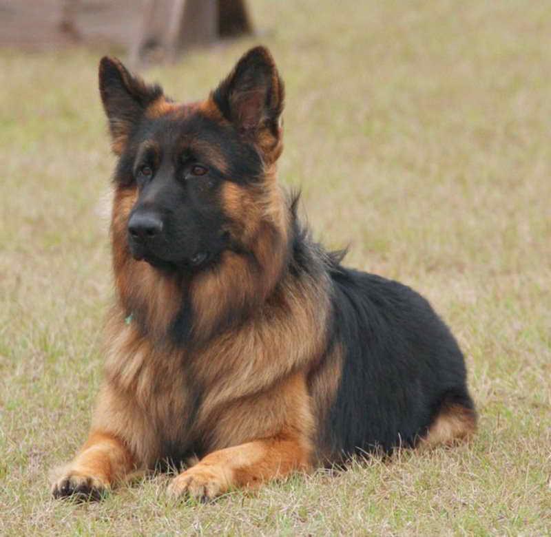 Long Coated German Shepherd Puppies For Sale