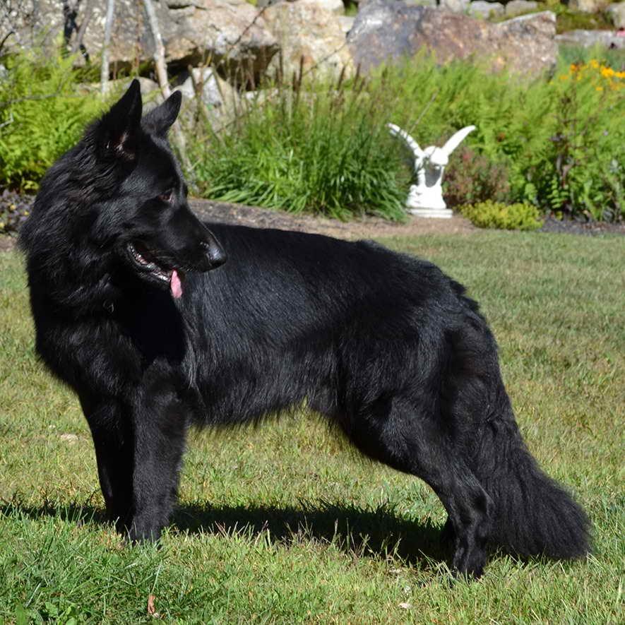 Long Haired Black German Shepherd For Sale