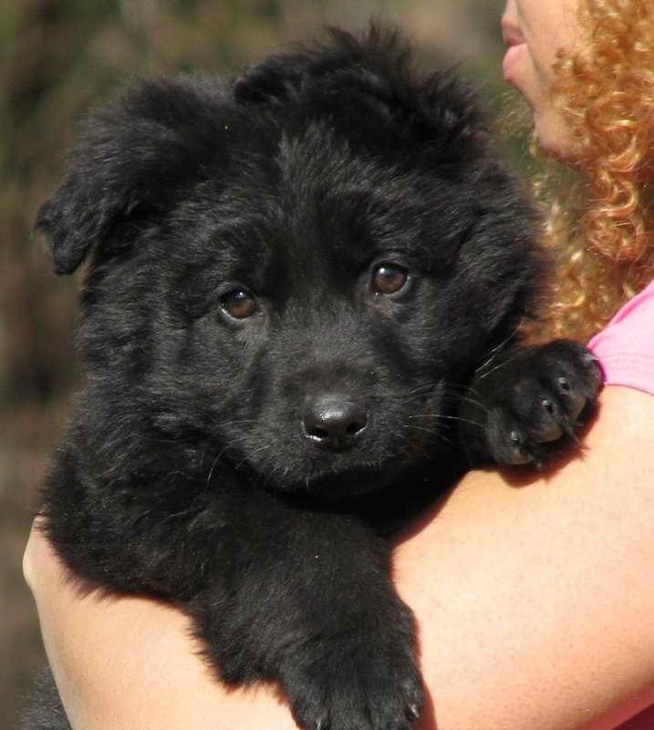 Long Haired Black German Shepherd Puppy