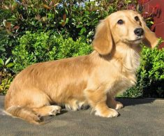 Long Haired English Cream Mini Dachshund Puppies For Sale