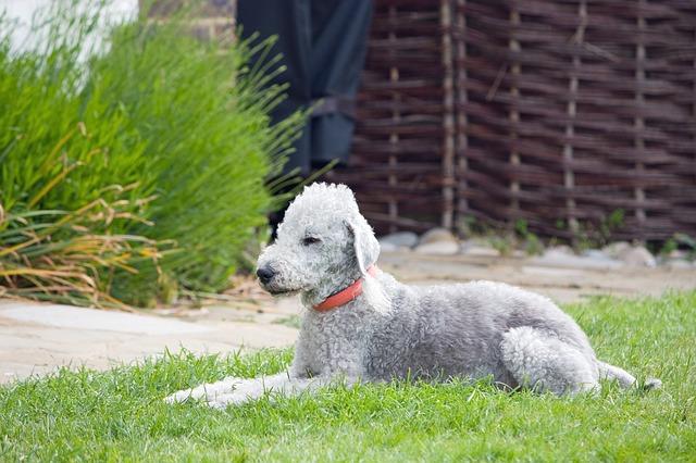 Bedlington Terrier hypoallergenic dogs