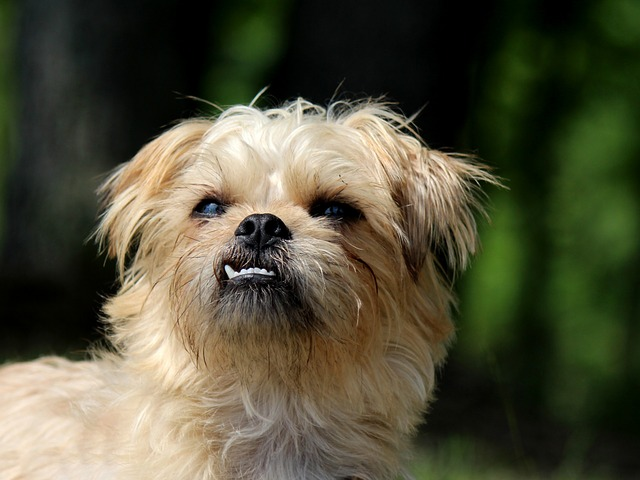 Brussels Griffon hypoallergenic dogs