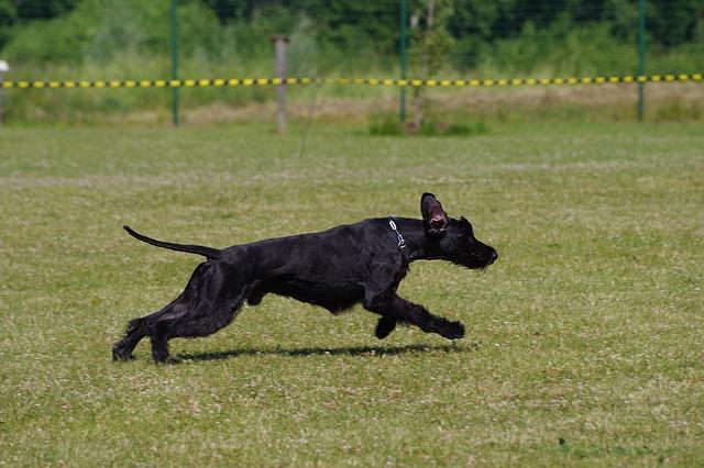 Giant Schnauzer hypoallergenic dogs