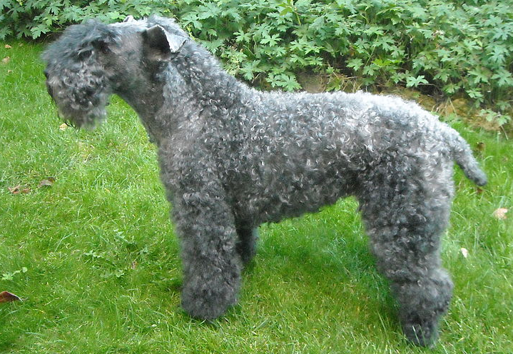 Kerry Blue Terrier hypoallergenic dogs