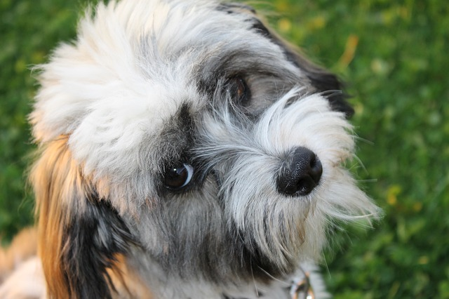 The Havanese hypoallergenic dogs